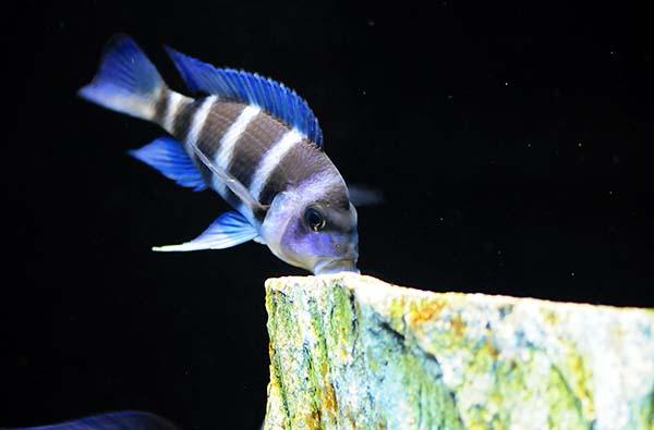 zaires from lake tanganyika madoverfish aquariums Fish Room Handicapped Design Fish Room Handicapped Design